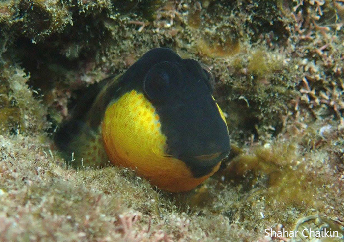 קרנון עקוד - Golden cheek blenny