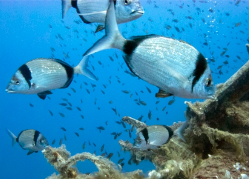 סרגוס כתפי - Common two-banded sea bream