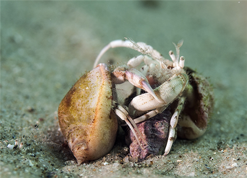 נזיר קטן - Small hermit crab, South-claw hermit crab
